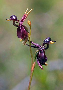 Fleur-caleana major