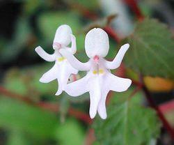 Fleur impatiens bequaertii
