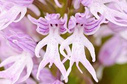 Fleur-orchis italica