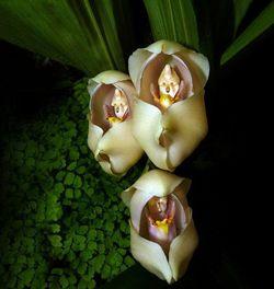 Fleur-Anguloa