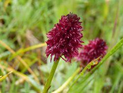 Nigritelle noire orchis-02