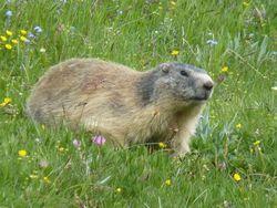 Marmotte-03