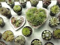Succulentes_10