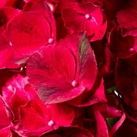 Hortensia-ruby-red3