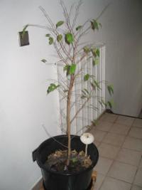 Plante-malade-ficus