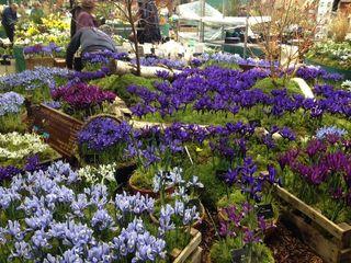 Bulbes iris