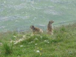 Marmottes-01