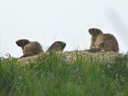 Marmotte-07