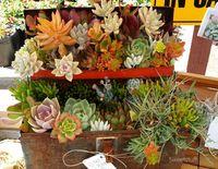 Succulentes_12