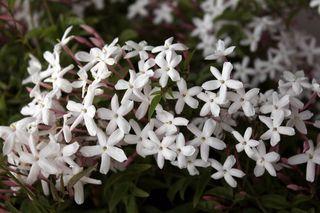 Jasminum-polyanthum_O1