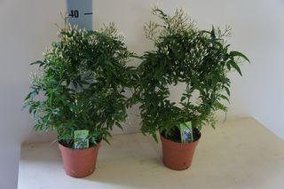 Pour un bon sommeil une plante de jasmin dans votre chambre le pouvoir des fleurs - Chambre plante ...