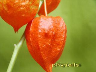 Physalis détail