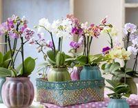 GEV Orchidée