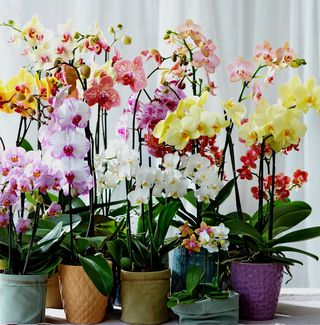 Orchidée Phalaenopsis_01