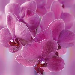 Orchidée Phalaenopsis_03