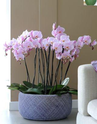 Orchdidée Phalaenopsis_10