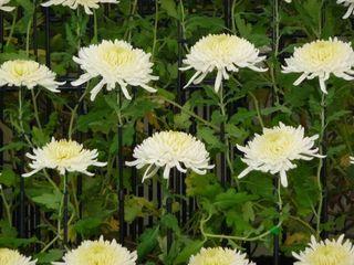 Chrysantheme Ozukuri _01