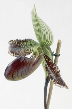 Orchidée Paphiopedilum_01