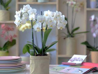 Orchidée Phalaenopsis_02