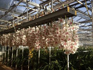 Orchidées Cymbium Virginie Ilsthoorn_02