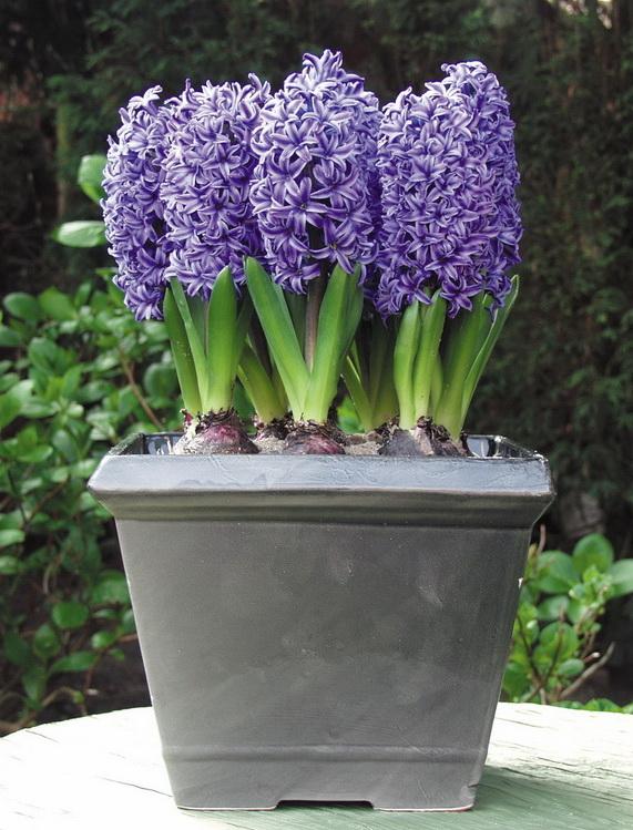 Les jacinthes un petit air de printemps dans la maison for Entretien jacinthe interieur