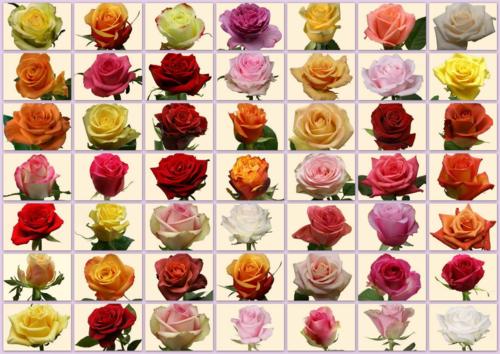 49 nuances de roses SICA MAF