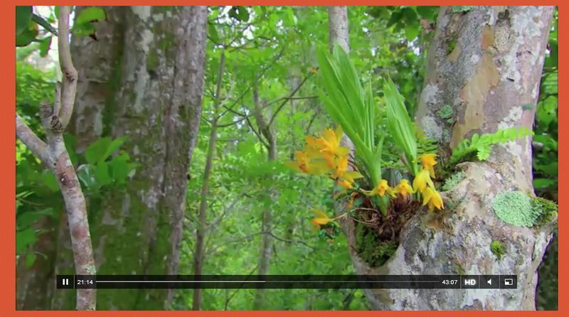 Orchis ARTE 2