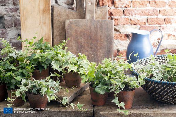 Le lierre ou h d ra plante du mois d 39 avril de l 39 ohf le for Plante 6 mois