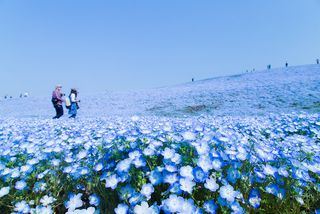 Nemophila Baby Blue Eyes 2