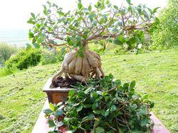 Ficus microcrapa ginseng J-Bruffin_03
