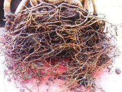 Ficus microcrapa ginseng J-Bruffin_05
