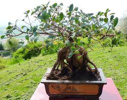 Ficus microcrapa ginseng J-Bruffin_07