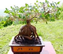 Ficus microcrapa ginseng J-Bruffin_08