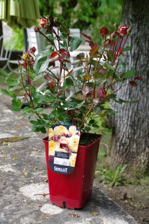 La rose fleur pr f r e des fran ais le pouvoir des fleurs Jardinerie par correspondance
