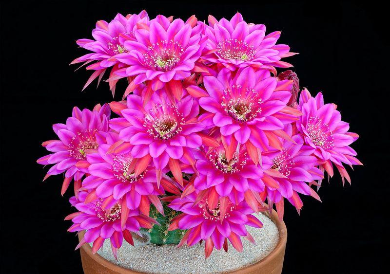 Echinopsis cactus 02