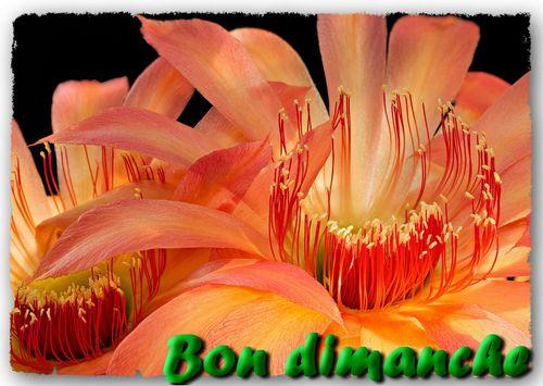 Echinopsis cactus detail