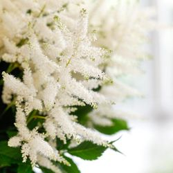 Astilb blanc