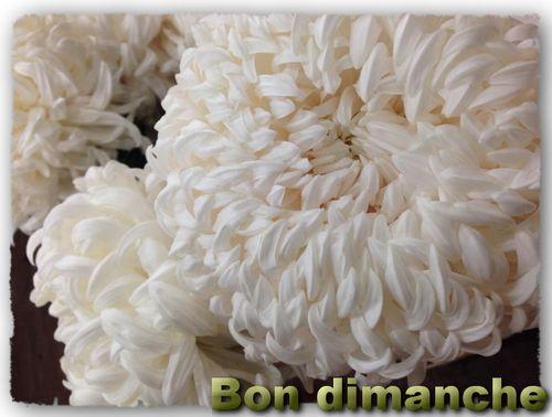 Dimanche chrysantheme