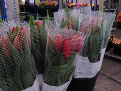 SICa tulipes 4