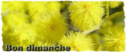 Mimosa dimanche