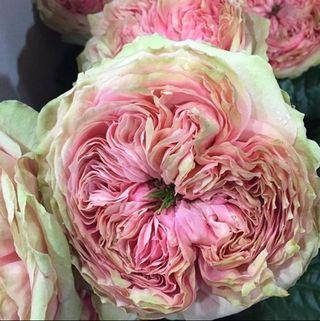 Rose pride of jade detail 2