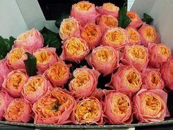 Rose Soprano