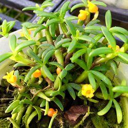 Orchidarium Mediocalcar decoratum