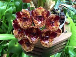 Orchidarium Peristeria pendula