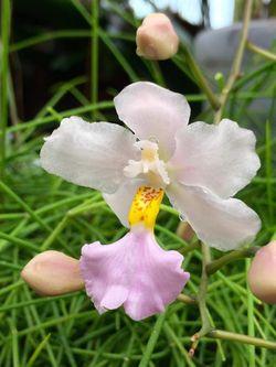 Orchidarium Cuitlauzina pendula