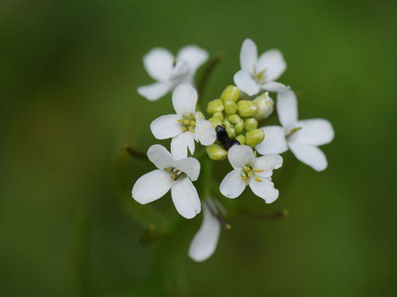 Plante arabette-de-thalius