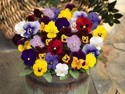 Viola cornuta 6