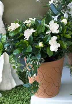 OHF plantes blanches Gardenia