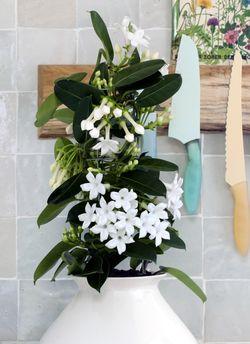 OHF plantes blanches Stéphanotis