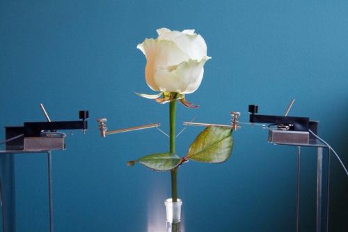 Rose électrique 2